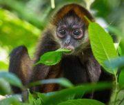 Monkeys in the jungle Costa Rica Tour