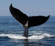 a-whales